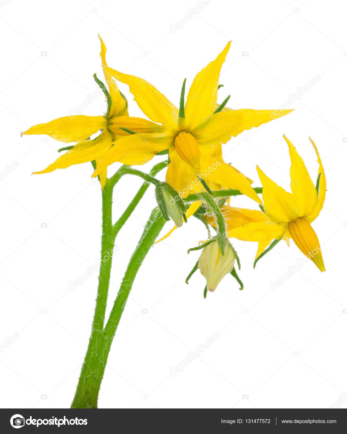 Tomato Plant Flower Stock Photo Alexan66 131477572