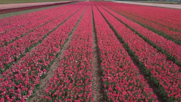 Letecké záběry tulipánových polí v Nizozemsku