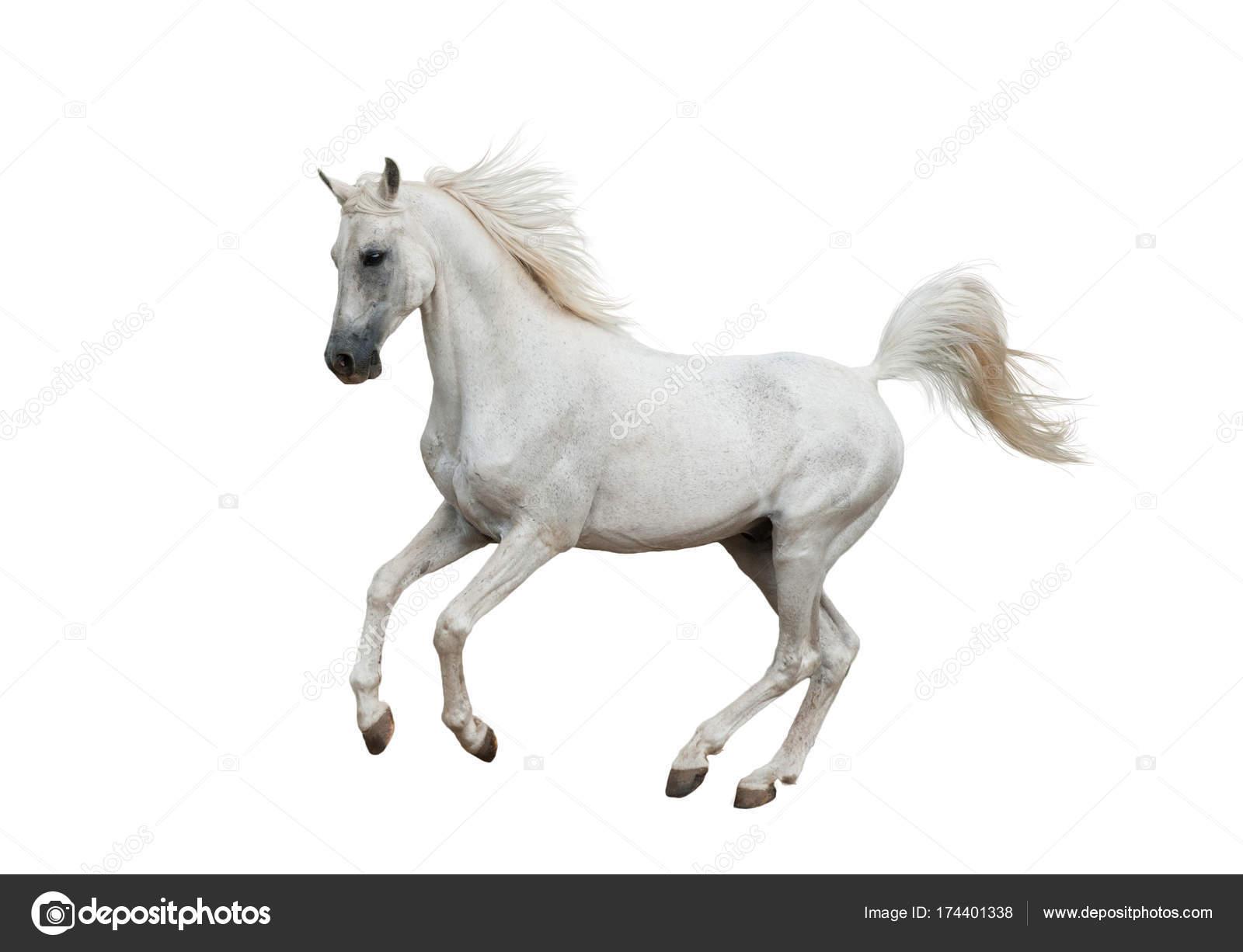 Horse Pic White White Arabian Horse Stock Photo C Mari Art 174401338