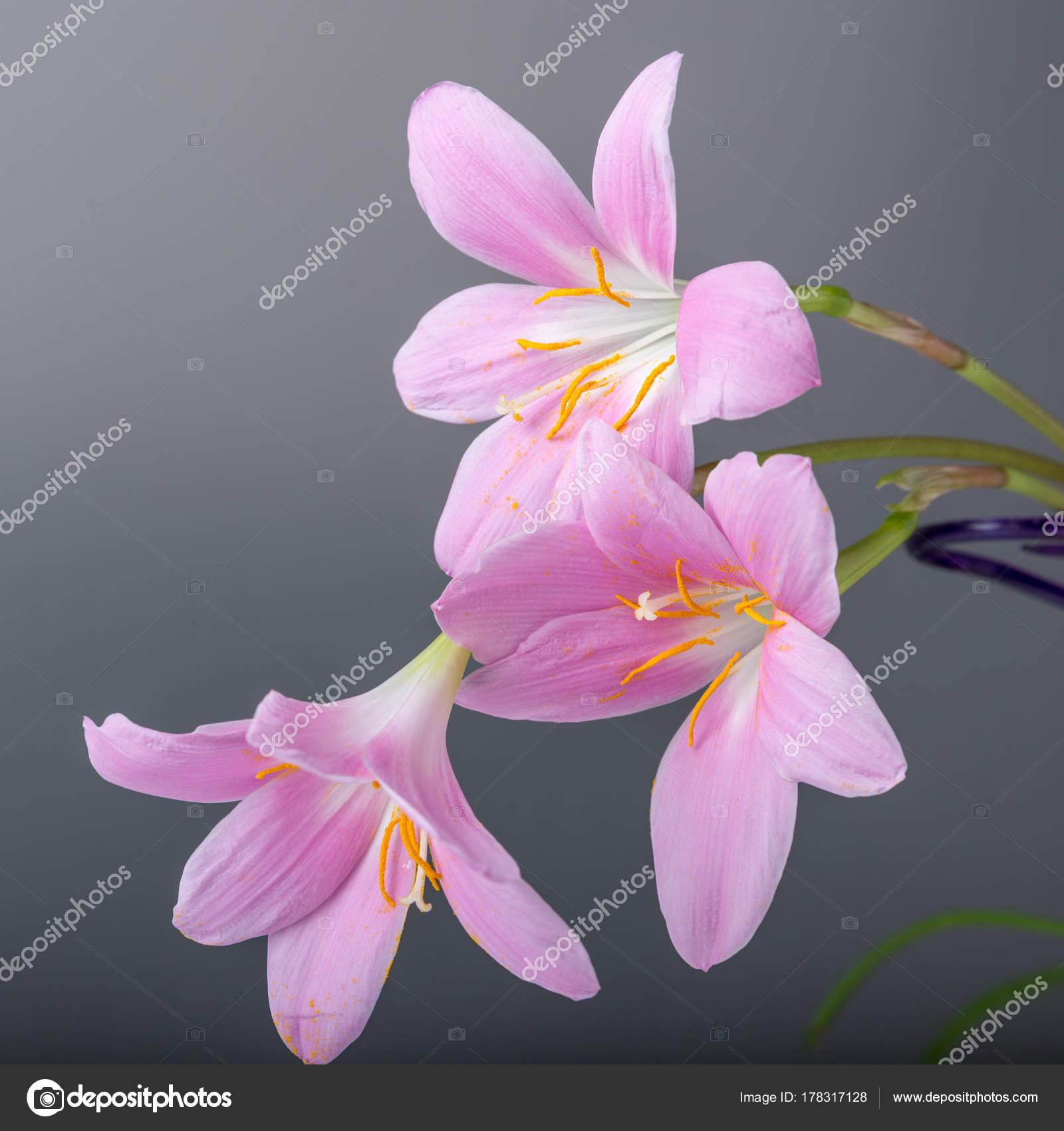 Sanft Pastell Rosa Blumen Auf Weissem Hintergrund Kopieren Sie Raum