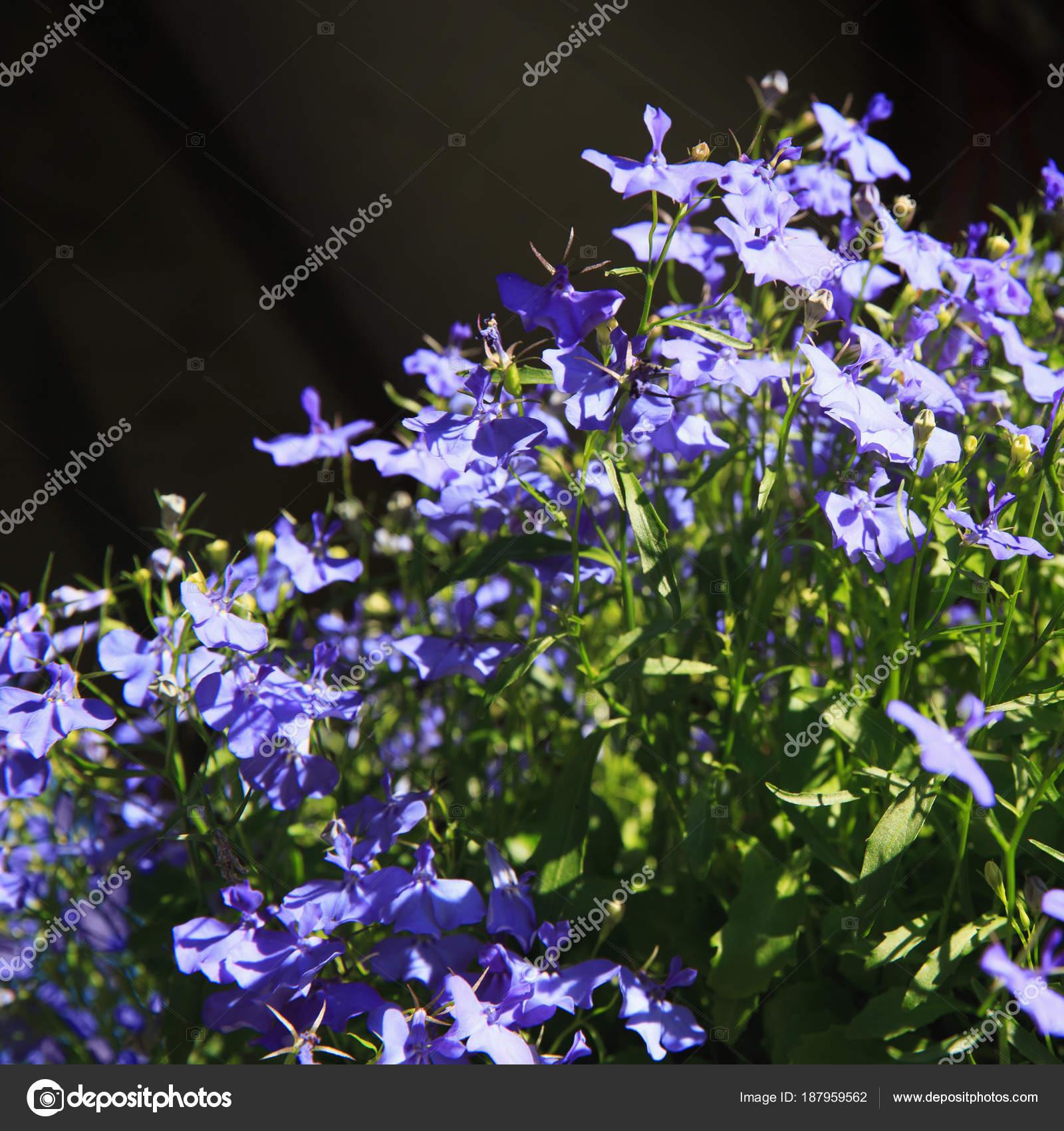 Латинские названия цветков
