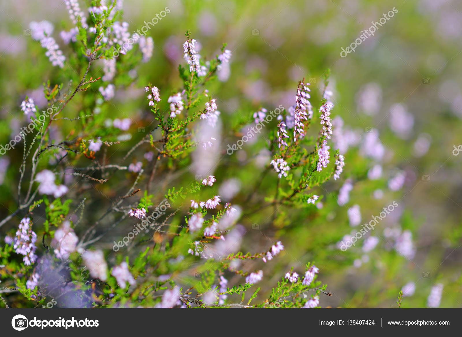 Detail Of A Flowering Heather Plant Stock Photo Maximkabb 138407424