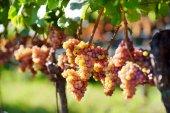 vinice při západu slunce v podzimní sklizeň