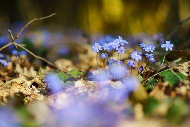 blooming hepatica flowers