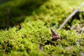 Fotografia Rana verde comune su un muschio in foresta di primavera