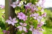 Fotografia Clematis dentellare di fioritura nel giardino. Fiori che sbocciano in estate
