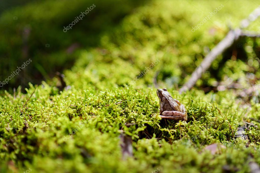 Common green frog on a moss in forest on springtime