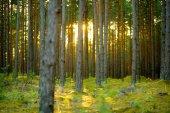 Krásný kombinovaný borovice a listnatý les v Litvě, Evropa