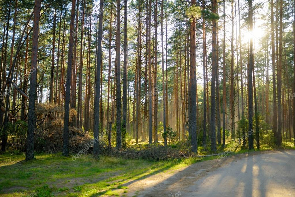 Beautiful mixed pine and deciduous forest in Lithuania, Europe