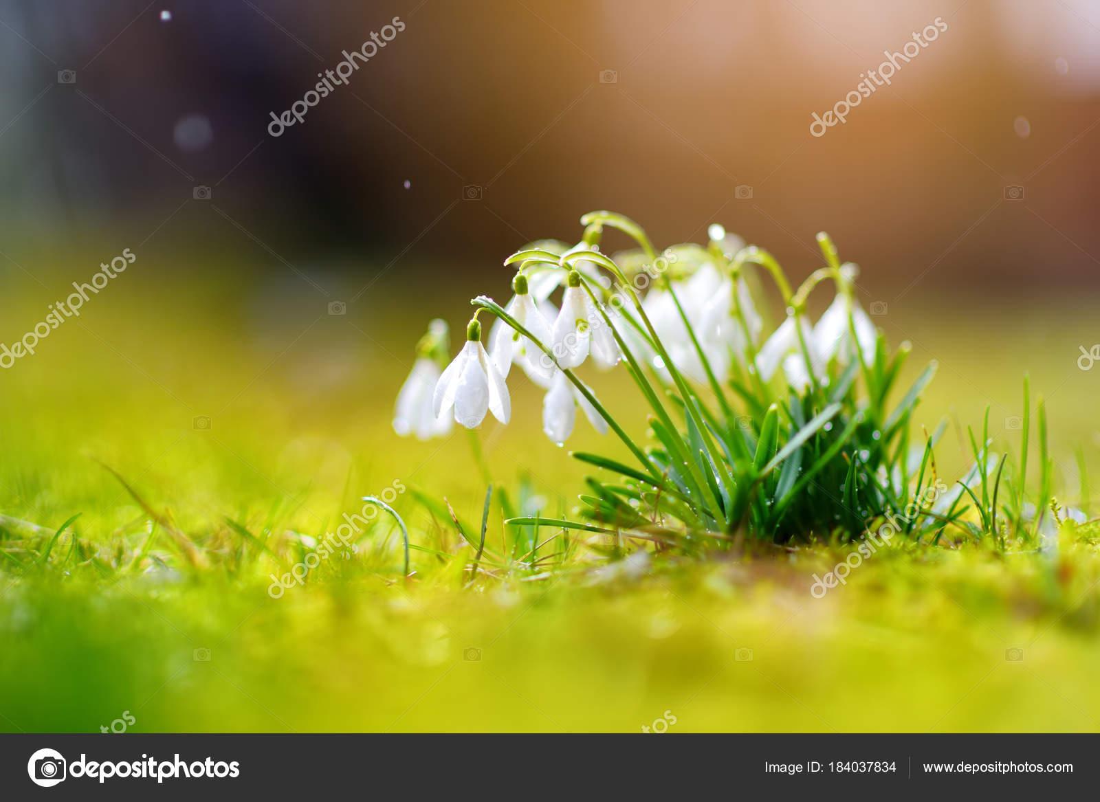 Fruhling Schneeglockchen Blumen Bluhen Freien Erste Blumen Des