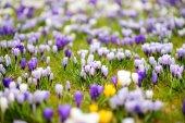 Fotografie Blooming crocus flowers