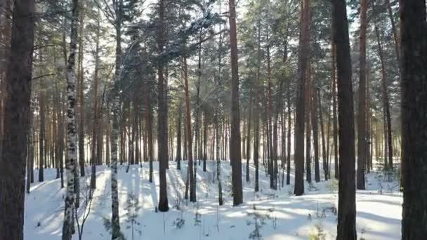 Luftaufnahmen von Drohnenflügen durch sibirischen Winter-Kiefernwald unter dem Schnee. nowosibirsk, sibirien, russland.