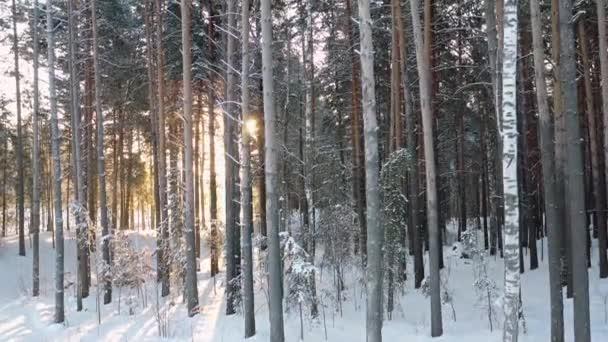 Letecké video ze zvedání dronu sibiřského zimního borového lesa pod sněhem. Novosibirsk, Sibiř, Rusko.