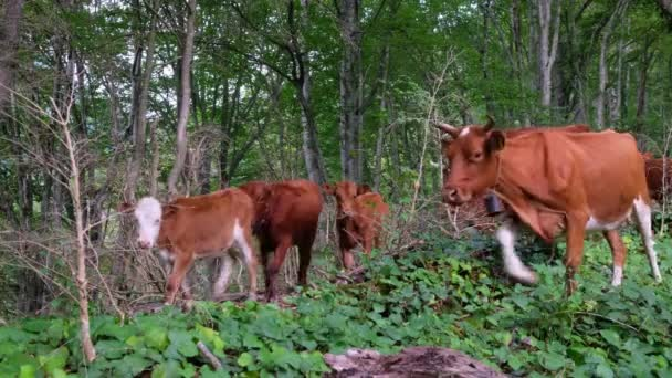 Csorda tehenek hegyi grúz erdőben. Imereti, Grúzia. Hangja harangok és a tehénbőgés