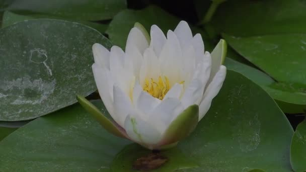 Časová prodleva záběry bílých leknínů se otevírá a zavírá. Zrychlené rychlé Hd video Nymfa kvetoucí v jezírku je obklopeno listy