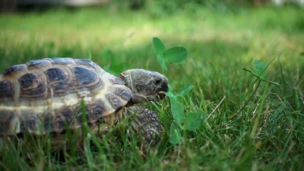turtle slowly feeding on grass