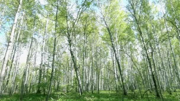 Panorama z jara březový les