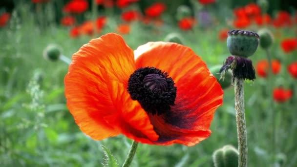 krásné květy máku