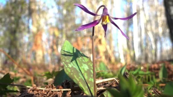 violet flower growing in spring forest