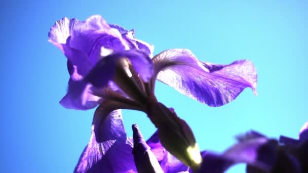 beautiful iris flowers