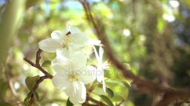 jabloň v květu