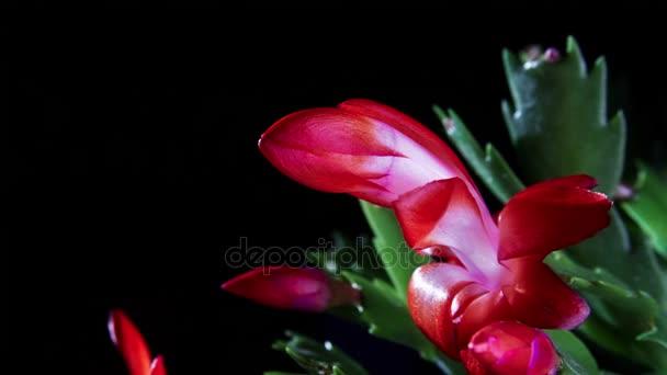 pink cactus flower opening