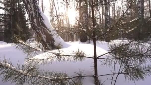 zasněžené stromy v zimě lese