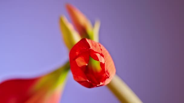 červený květ otevírání Amaryllis