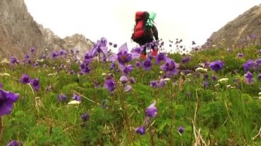 Hiker among Blue aquilegia flowers