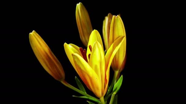 žlutá lilie květ