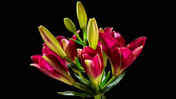 Nyitó piros liliom virág