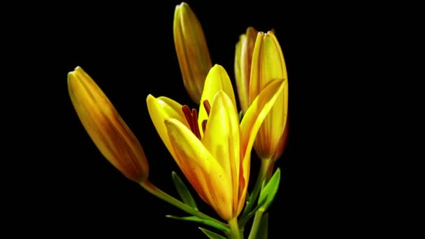 Yelow lily flower
