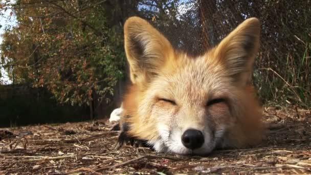 Mladá liška spí