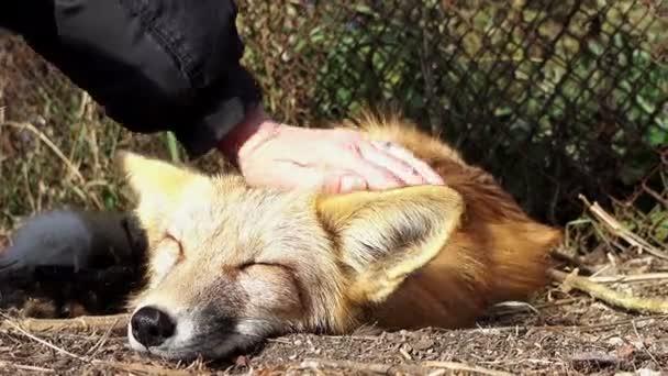 Muž s domestikovaných fox