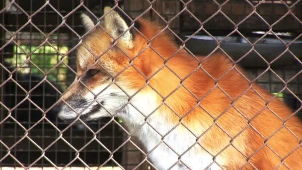 Red fox v kleci