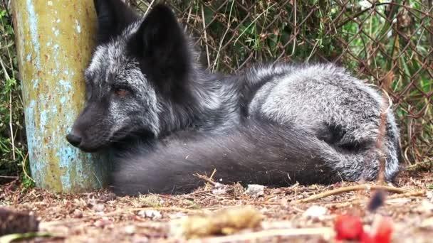 Domesticated black fox