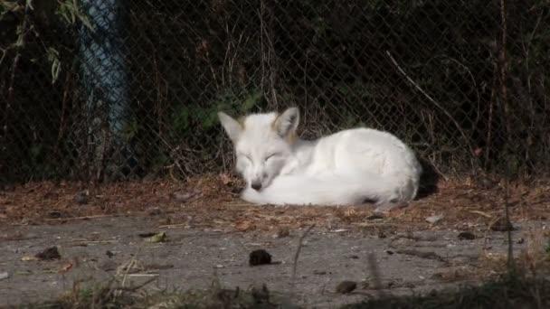 Domesticated white fox
