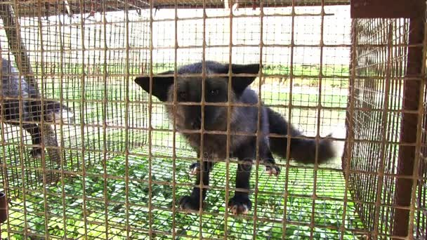 Fur farm. black fox in cage