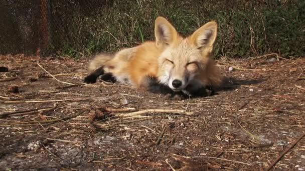 Kožešinová farma. červená liška v kleci