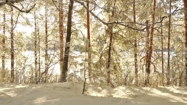 Les v altajské, Rusko. Stromy pokryté sněhem