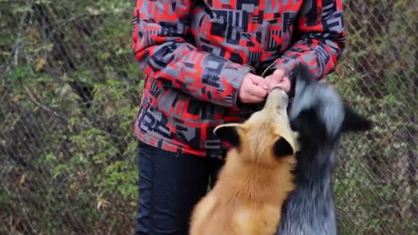 Fur farm.red fox feeding