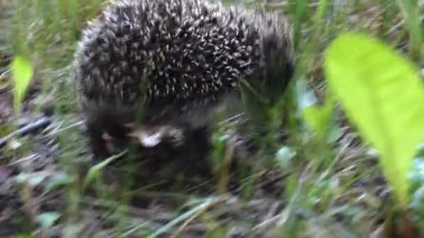 Wild hedgehog walking on green grass. Hedgehog in the nature