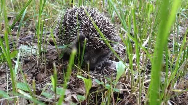 Vad sündisznó sétál a zöld fűben. Sündisznó a természetben