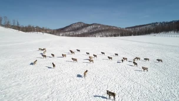 aerial view of wild siberian deer on snow-covered hillside in mountains