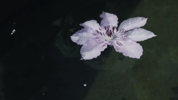 Rózsaszín virág clematis a vízen