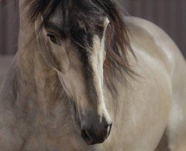 Portrait of buckskin Andalusian horse.