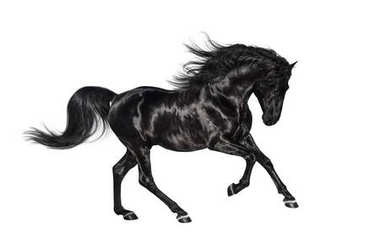 Galloping black Andalusian stallion isolated on white background