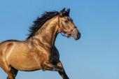 Fényöböl portréja Andalúziai ló.