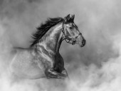 Andaluský kůň v ohlávce v lehkém kouři v pohybu.