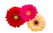 květiny slunečnice gerbera